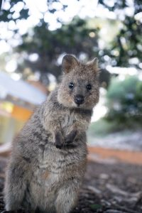 quokka marsupial being cute